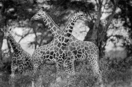 Photo pour Girafes dans le parc national du lac Nakuru, Kenya - image libre de droit
