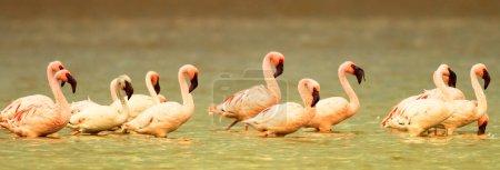 Photo for Pink flamingos in the Nakuru National Park, Kenya - Royalty Free Image