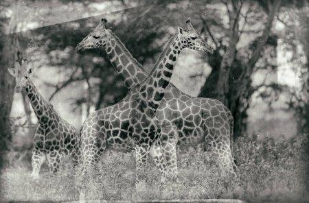 Photo pour Girafes dans le parc national de Nakuru, Kenya - image libre de droit