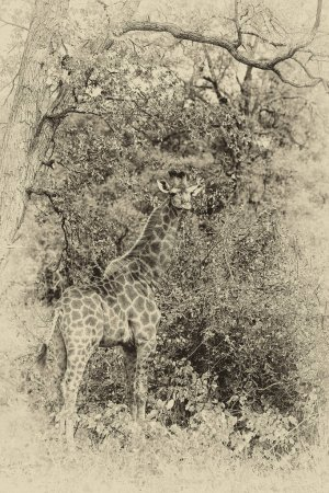 Photo for Giraffe in the Kruger National Park, South Africa. One of the world's greatest wildlife-watching destinations. - Royalty Free Image
