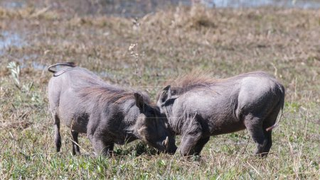 Photo for Warthogs in the Okavango Delta in Botswana - Royalty Free Image