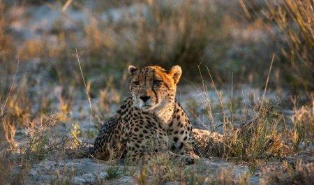 Photo for Cheetah (Acinonyx jubatus soemmeringii) in the Okavango-delta in Botswana - Royalty Free Image