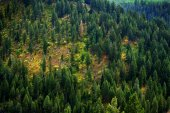 Forest of Pine Trees in Wilderness Mountains Landscape