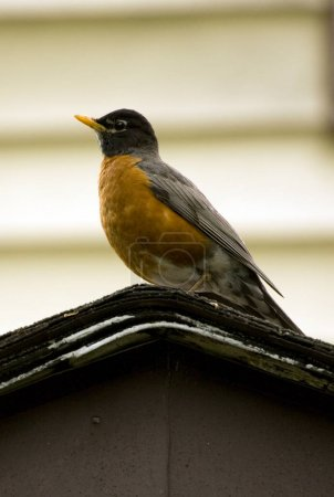 Robin Bird Perched on House During Springtime