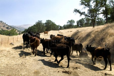 Farm Cattle on a Ranch Moving Around