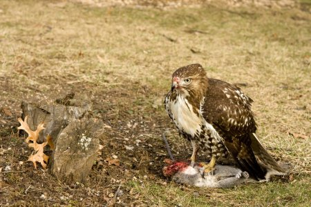 Deadly Hawk Kills Squirrel for Food in the Wild