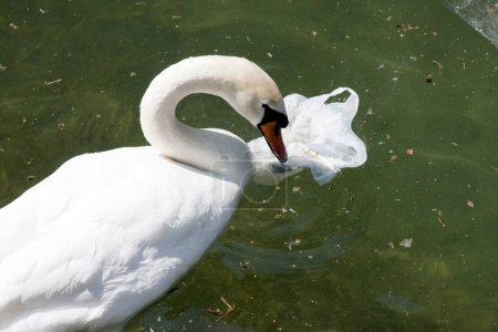 Swan in Lake with Plastic Bag Pollution
