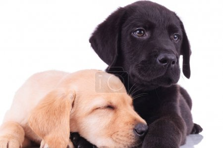 closeup picture of two adorable labrador retriever puppies resti