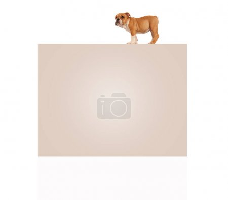 english bulldog puppy standing on top of big blank billboard