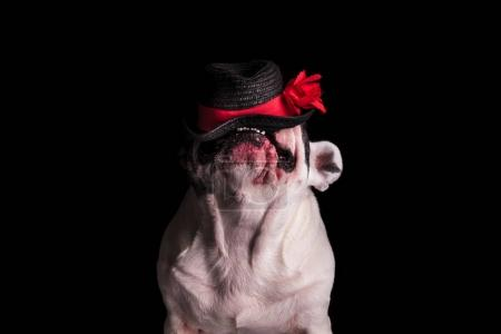 funny french bulldog chewing on its hat