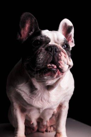 cute french bulldog female sitting