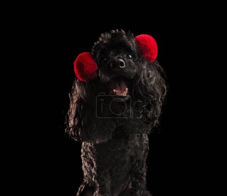 super happy poodle wearing red earmuffs