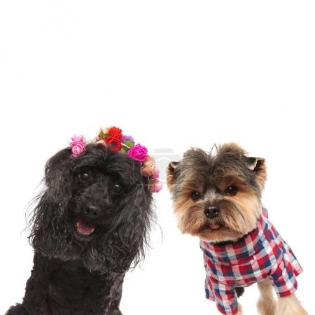 happy poodle and yorkshire terrier