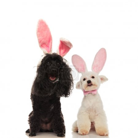 happy poodle and bichon dogs wearing bunny ears