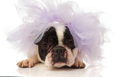 angry french bulldog is getting married