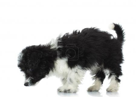 cute bichon havanese picks up a scent