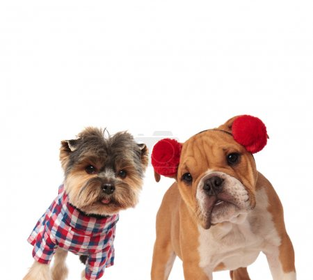 curious yorkshire terrier and english bulldog dressed for hallow