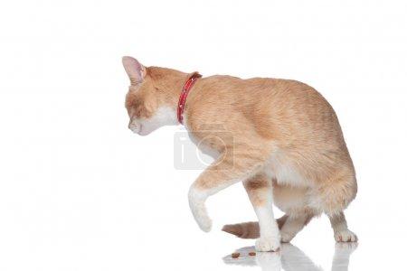 curious orange cat wearing a red collar turns around