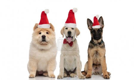 Photo for Three adorable puppies wearing santa hats sitting together on white background - Royalty Free Image