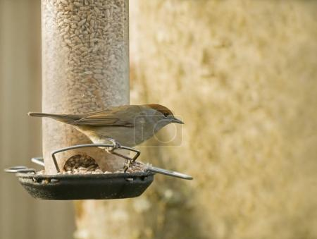 Blackcap Female on Feeder