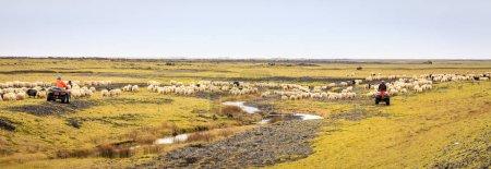 Farmers are herding sheep