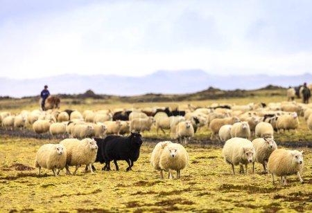 Farmers  herding sheep