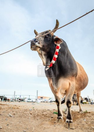 Bull fighting in Fujairah
