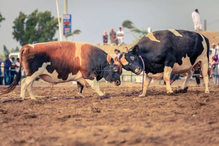 Bulls fighting in traditional competition