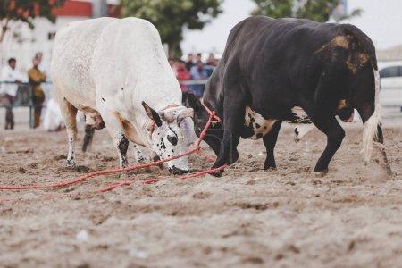 Bulls fighting in Fujairah