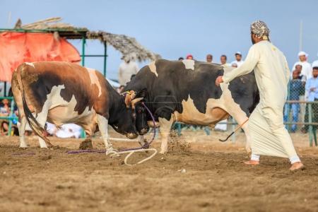 Bull fighting in Fujairah