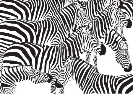 Set of zebra on a white background