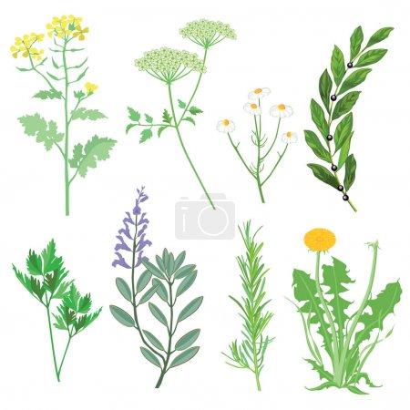 Herbs and medicinal plants. Botanical Illustration