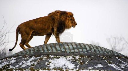 Photo pour Bel Puissant Lion. Le monde animal. Grand chat. - image libre de droit