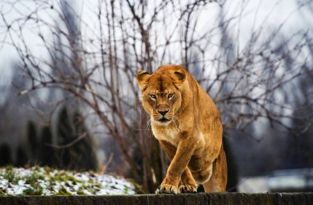 Photo for Beautiful Mighty Lion. Animal world. Big cat. - Royalty Free Image