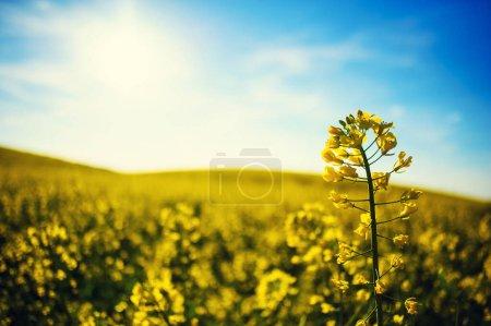 Photo pour Champ de colza jaune contre le ciel bleu - image libre de droit
