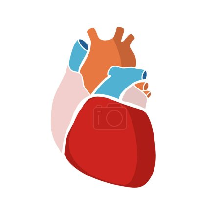 Schematic color human heart on white background, v...