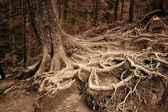 Mysterious roots of old spruce in the forest. Art photo in sepia