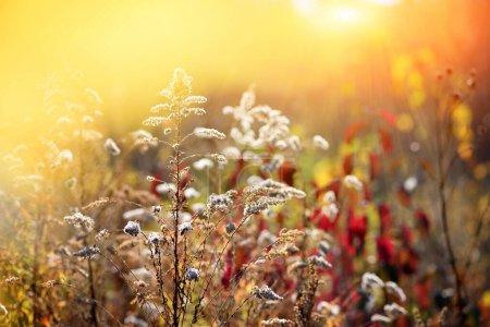 Verge d'or (Solidago canadensis) avec graines sèches dans un pré d'automne .