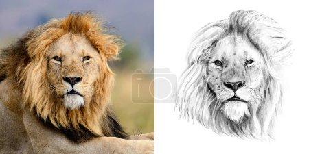 Photo pour Portrait de lion avant et après dessiné à la main au crayon. Originaux, aucune trace - image libre de droit
