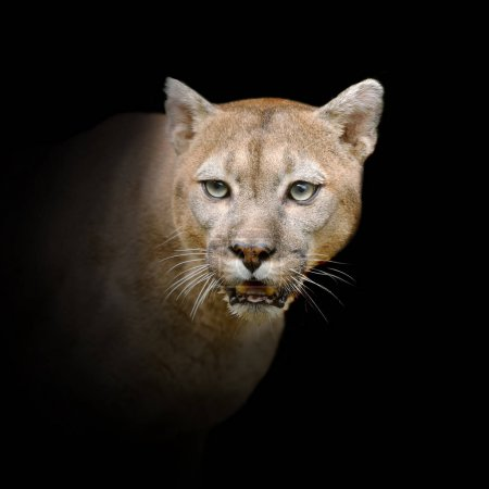 Close up puma portrait isolated on dark background...
