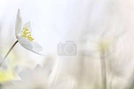 Photo pour Fleur de printemps sauvage, bois anemone nemorosa, gros plan - image libre de droit