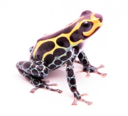 Photo pour Petite grenouille venimeuse de la forêt tropicale amazonienne du Pérou Isolé sur fond blanc - image libre de droit