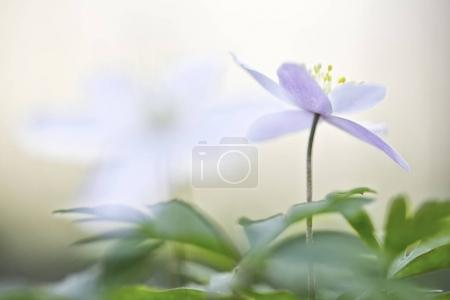 single wood anemone flower