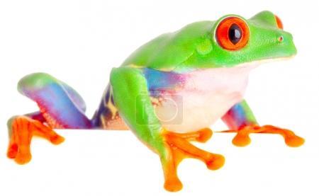 red eyed monkey tree frog
