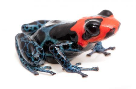 blue red and black poison dart frog from the rain forest of Peru, Ranitomeya benedicta