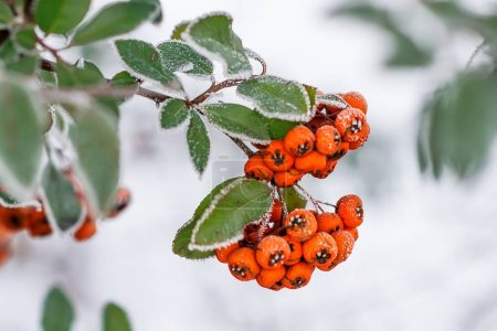 Rowan branch with red berries and frost