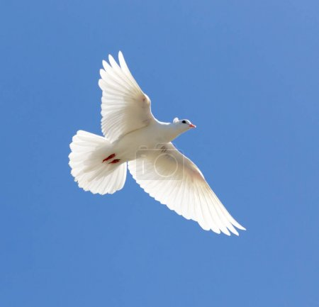 white dove on a blue sky