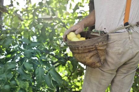 Landsmann sammelt Zitrone mit einem Korb