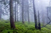 trees in fog in deep forest