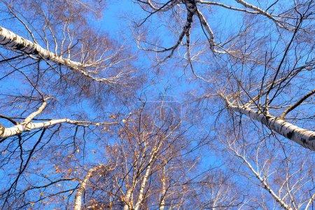 Photo pour Bouleaux sur ensoleillée vue forêt automnale des arbres de bas en haut - image libre de droit